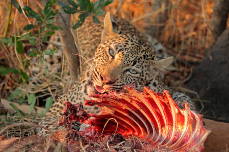 sabie sand: Male leopard - Panthera pardus - feeding on its prey, Sabie-Sand nature reserve, South Africa Stock Photo