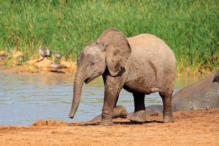 big5: A baby African elephant (Loxodonta africana) at a waterhole, Addo Elephant National Park, South Africa