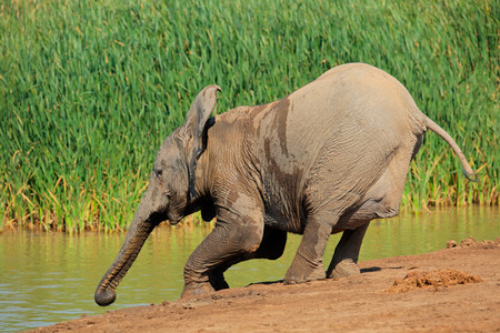 big5: A young African elephant - Loxodonta africana - drinking water, Addo Elephant National Park, South Africa Stock Photo