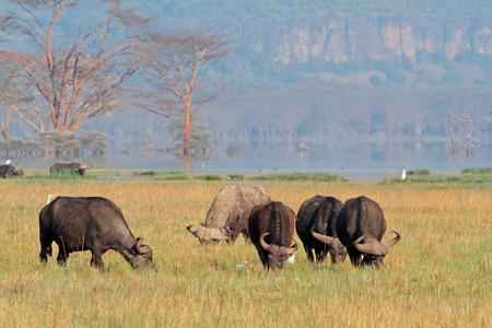big5: Grazing African buffaloes - Syncerus caffer, Lake Nakuru National Park, Kenya