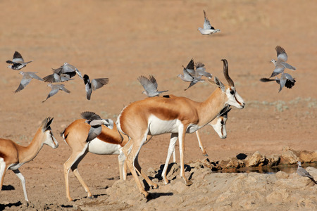 marsupialis: Springbok antelopes - Antidorcas marsupialis - and flying doves at a waterhole, Kalahari desert, South Africa