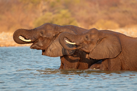 big5: African elephants (Loxodonta africana) standing in water, Namibia