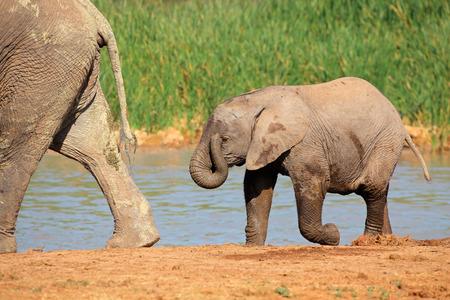 pozo de agua: Un bebé elefante africano - Loxodonta africana - en una charca, Addo Elephant National Park, Sudáfrica