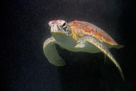 large turtle: Underwater view of a hawksbill sea turtle - Eretmochelys imbricata, Zanzibar island