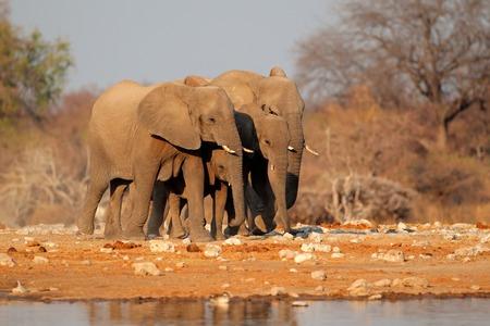 big5: African elephants (Loxodonta africana) at a waterhole, Namibia