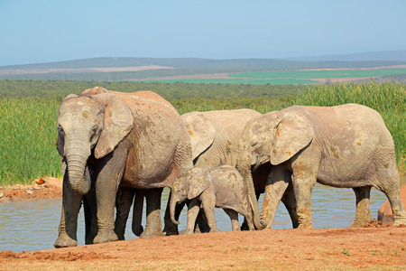 big5: African elephants - Loxodonta africana - at a waterhole, Addo Elephant National Park, South Africa