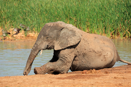 big5: A playful young  African elephant - Loxodonta africana - at a waterhole, Addo Elephant National Park, South Africa Stock Photo