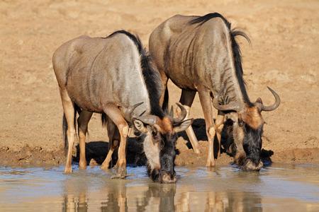 taurinus: Blue wildebeest - Connochaetes taurinus - drinking water, Pilanesberg National Park, South Africa
