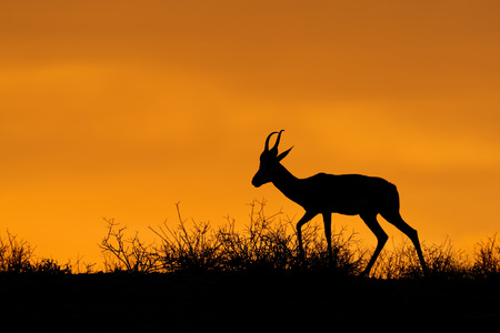 antidorcas: Springbok antelope (Antidorcas marsupialis) silhouetted against a red sky, Kalahari desert, South Africa
