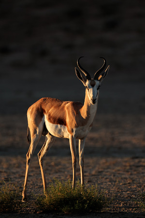 springbuck: A springbok antelope - Antidorcas marsupialis - in late afternoon light, Kalahari desert, South Africa