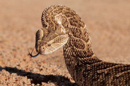 coiled: Portrait of a puff adder (Bitis arietans) in defensive position, southern Africa
