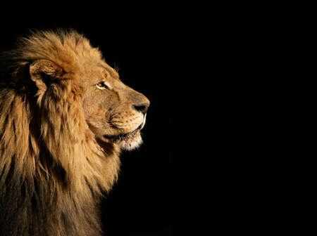 Сторона портрет большой мужской африканского Льва (пантеры Лео) на черном фоне, Южная Африка