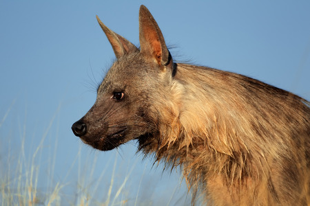 kalahari: Portrait of a brown hyena - Hyaena brunnea - against a blue sky, Kalahari desert, South Africa