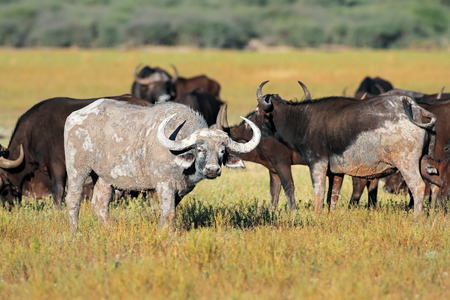 south african: Mud covered African or Cape buffaloes - Syncerus caffer, South Africa