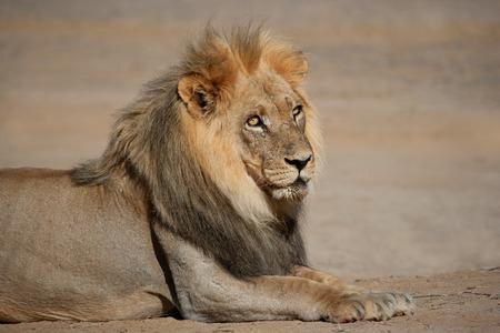 panthera leo: Portrait of a big male African lion - Panthera leo, Kalahari desert, South Africa