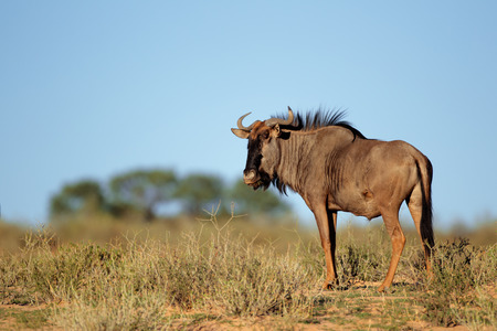kalahari: A blue wildebeest - Connochaetes taurinus - in natural environment, Kalahari desert, South Africa