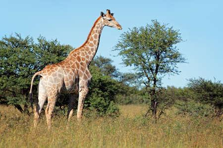 giraffa camelopardalis: A giraffe - Giraffa camelopardalis - in natural habitat, South Africa