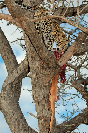 sabie sand: A leopard - Panthera pardus - with its impala antelope prey in a tree, Sabie-Sand nature reserve, South Africa Stock Photo