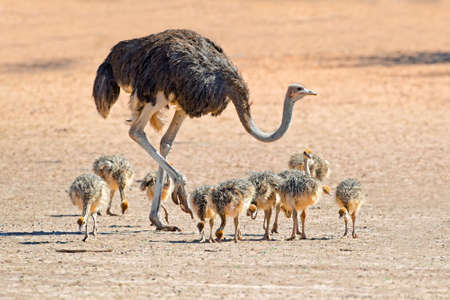 kalahari: Female ostrich - Struthio camelus - with chicks,  Kalahari desert, South Africa Stock Photo