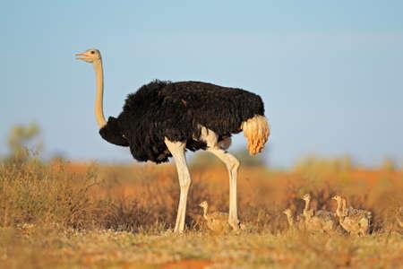 avestruz: Avestruz masculina - camelus del Struthio - con pollitos, desierto de Kalahari, Sudáfrica