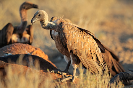 scavenging: White-backed vultures - Gyps africanus - scavenging on a carcass, South Africa Stock Photo