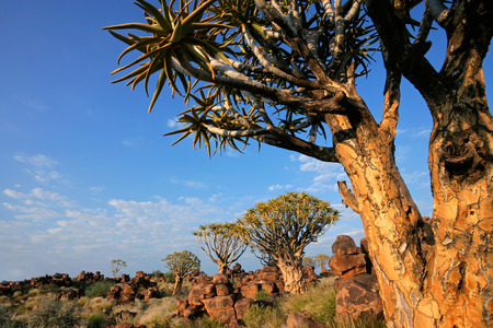 dichotoma: Desert landscape with quiver trees - Aloe dichotoma - and granite rocks, Namibia