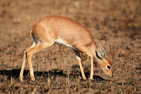 campestris: Female steenbok antelope - Raphicerus campestris, South Africa
