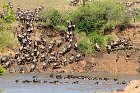 taurinus: Migratory blue wildebeest (Connochaetes taurinus) crossing the Mara river, Kenya