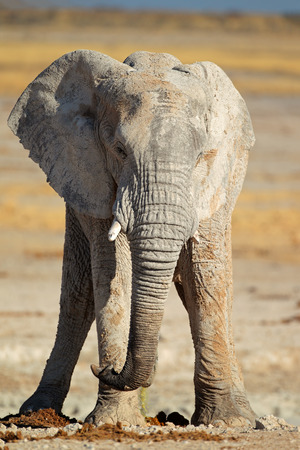 loxodonta: Large African elephant - Loxodonta africana - bull covered in mud, Etosha National Park, Namibia