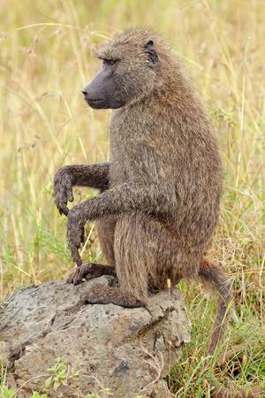 anubis: An olive baboon - Papio anubis - sitting on a rock, Lake Nakuru National Park, Kenya Stock Photo
