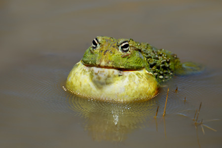 anura: Male African giant bullfrog - Pyxicephalus adspersus - calling, South Africa