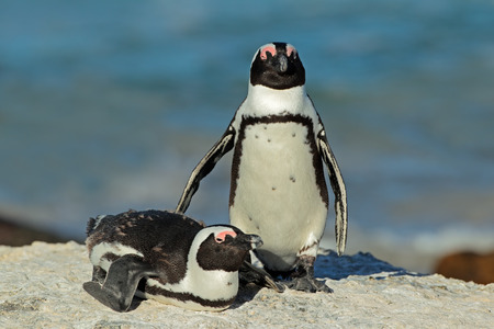 spheniscus demersus: Pair of African penguins - Spheniscus demersus, Western Cape, South Africa Stock Photo