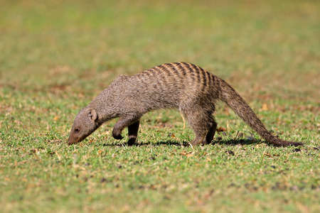 mongoose: Banded mongoose - Mungos mungo, southern Africa Stock Photo