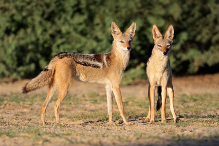 kalahari: A pair of black-backed jackals - Canis mesomelas, Kalahari desert, South Africa