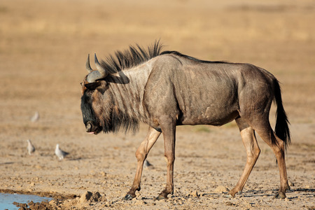 taurinus: Blue wildebeest - Connochaetes taurinus - at a waterhole, Kalahari desert, South Africa Stock Photo
