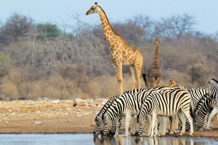 pozo de agua: Llanuras cebras y jirafas en una charca, el Parque Nacional de Etosha, Namibia