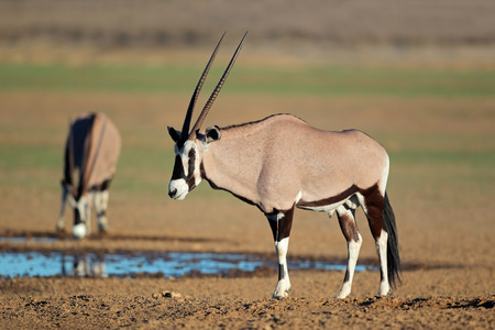 pozo de agua: Ant�lopes Gemsbok - gazella Oryx - en una charca, desierto de Kalahari, Sud�frica