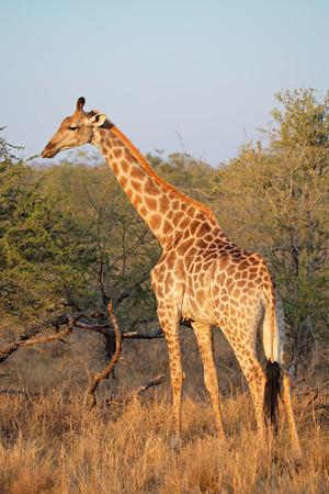 giraffa: A giraffe - Giraffa camelopardalis - in natural habitat, South Africa