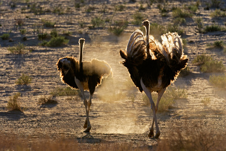 south africa soil: Two ostriches - Struthio camelus - walking in dust, Kalahari desert, South Africa