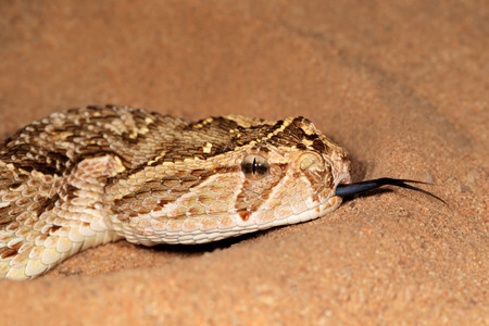 flicking: Close-up of a puff adder - Bitis arietans - snake with flicking tongue Stock Photo