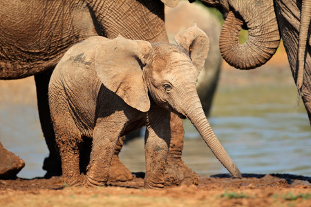 big5: A cute baby African elephant (Loxodonta africana), South Africa LANG_EVOIMAGES