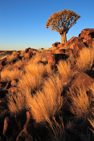 dichotoma: Desert landscape with golden grasses and a quiver tree (Aloe dichotoma), Namibia