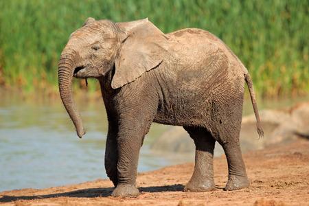 big5: An African elephant - Loxodonta africana - at a waterhole, Addo Elephant National Park, South Africa