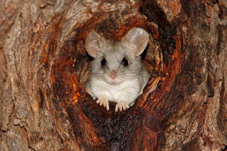 rata: Un �rbol de Acacia rata - Thallomys paedulcus - sentado en un agujero en un �rbol, Sud�frica
