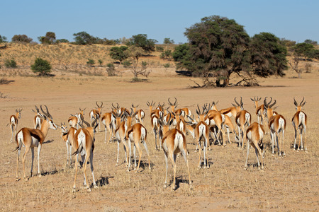 kalahari: A herd of springbok antelopes - Antidorcas marsupialis, Kalahari desert, South Africa Stock Photo