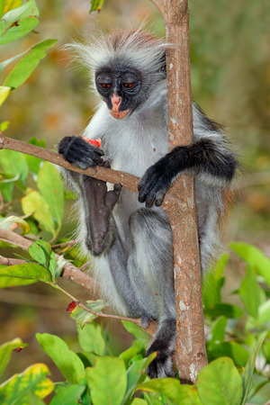endangered: Endangered Zanzibar red colobus monkey - Procolobus kirkii, Jozani forest, Zanzibar Stock Photo