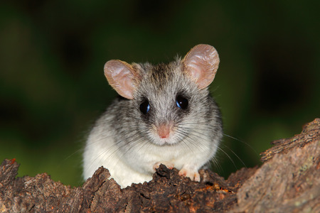 nocturnal: An Acacia tree rat - Thallomys paedulcus - sitting in a tree, South Africa
