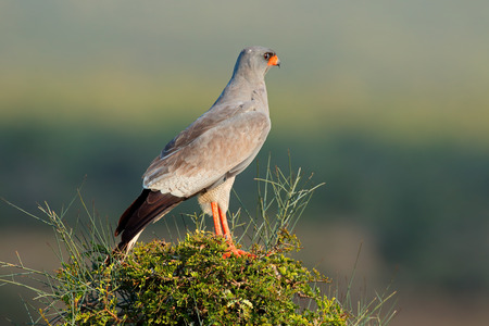 Pale Chanting goshawk - Melierax canorus - perched on a tree, South Africa