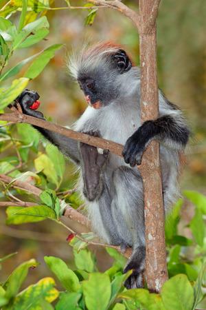 zanzibar: Endangered Zanzibar red colobus monkey - Procolobus kirkii, Jozani forest, Zanzibar Stock Photo