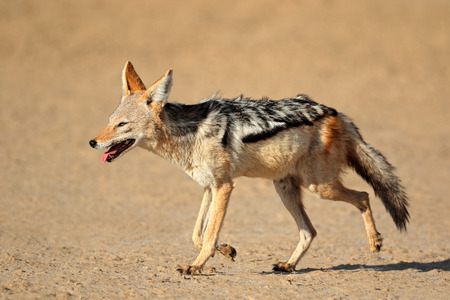 kalahari: A black-backed Jackal - Canis mesomelas - running, Kalahari desert, South Africa